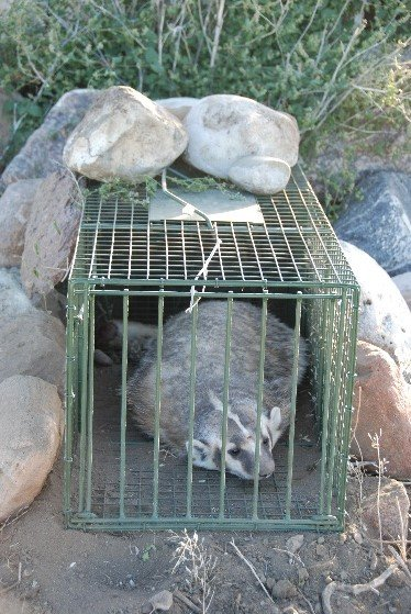 The Five Ws and How of Mammal Trapping